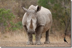rhino istock