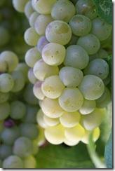 chardonney grapes