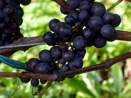 hhv-wine-grapes