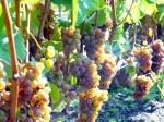 Perennial Pinot Gris