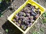 Perennial Vintners pinot gris harvested