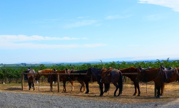 Horses in Wine Country